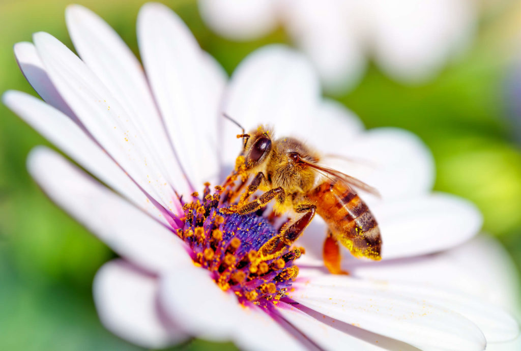 A photo of a honeybee on a daisy.