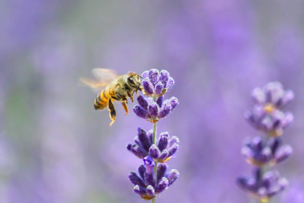 A photo of a honeybee on a lavender flower.