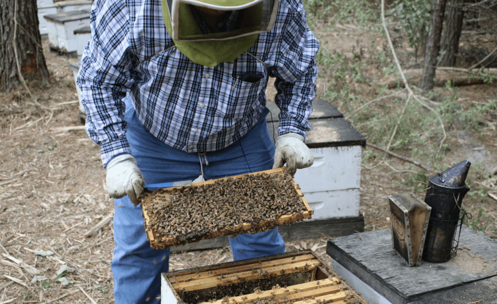 A photo of beekeeper Bob Morlock inspecting a frame from a beehive.