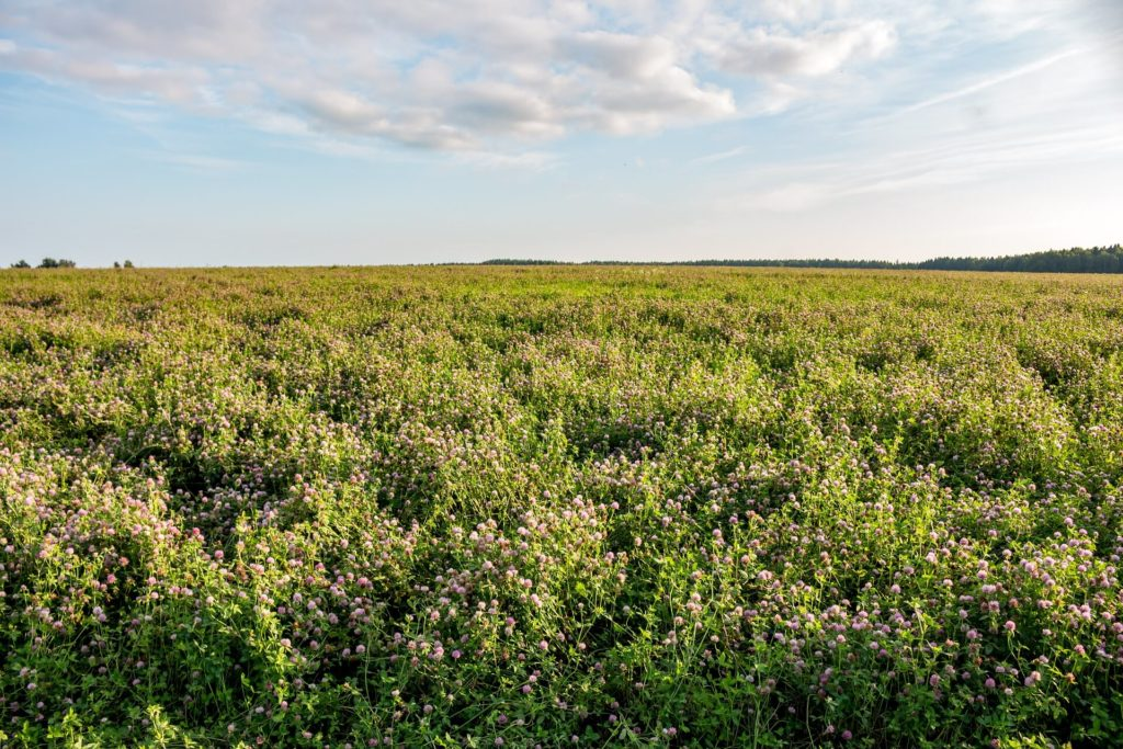 Photo of a field of clover.